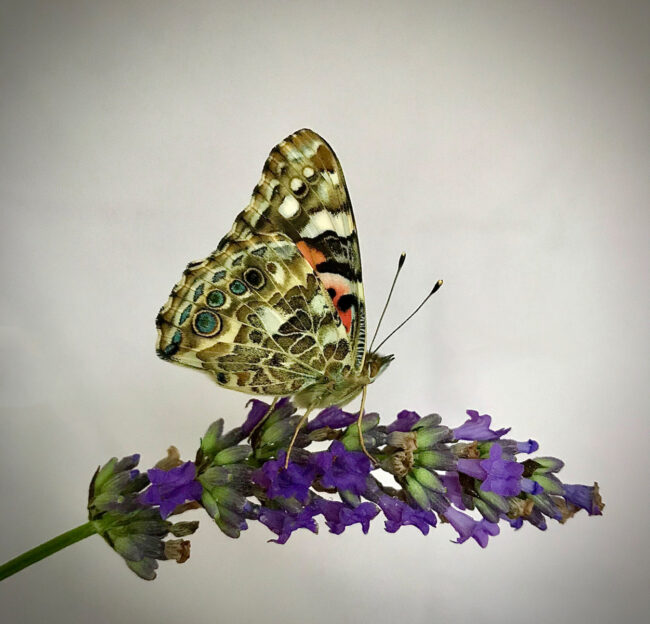 Painted Lady by Carol Green