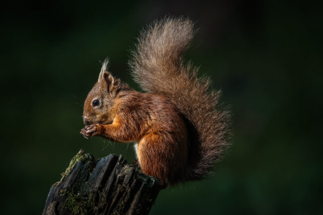 Red Squirrel by Colin Birister
