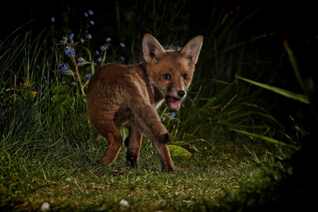 Midnight Cub by Colin Brister